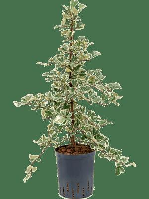 Ficus sweetheart