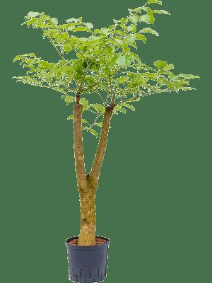 Heteropanax chinensis