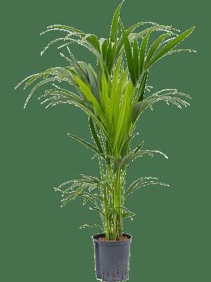 Kentia (howea) forsteriana Tuff 6pp 18/19 120 - Pflanze