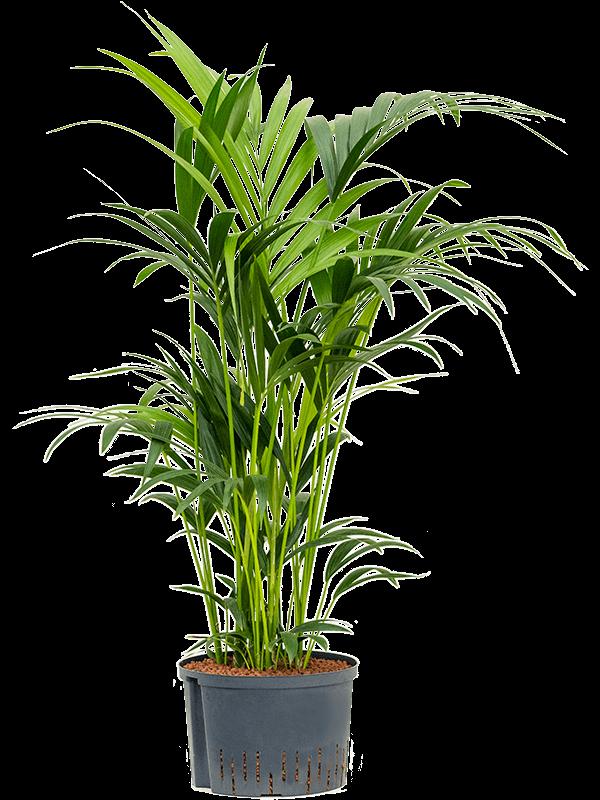 Kentia (howea) forsteriana Tuft 28/19 100 - Plant - Main image
