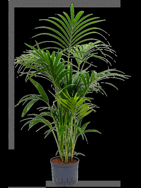 Kentia (howea) forsteriana Tuft 25/19 120 - Plant - Main image