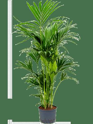 Kentia (howea) forsteriana Tuft 25/19 140 - Plant