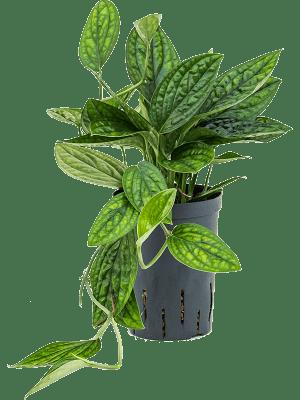 Monstera (Philodendron) karstenianum