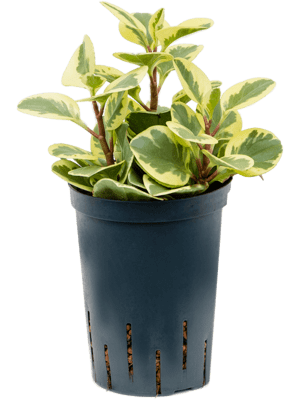 Peperomia green gold variegata