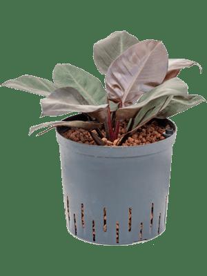 Philodendron black congo