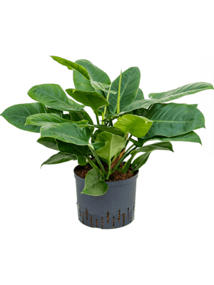 Philodendron imperial green
