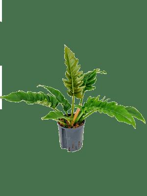 Philodendron 'Narrow' Bush 18/19 55 - Plant