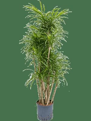 Pleomele (Dracaena) 'Anita' Branched 22/19 110 - Plant