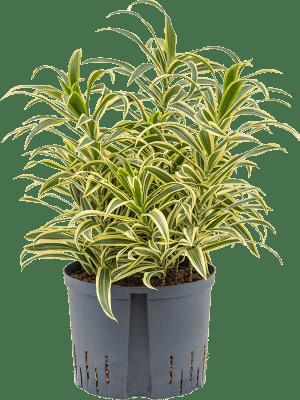 Pleomele (Dracaena) reflexa 'Song of India' Tuff 25/19 65 - Pflanze