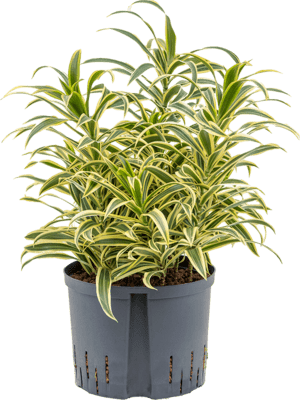 Pleomele (Dracaena) reflexa 'Song of India' Tuft 25/19 65 - Plant