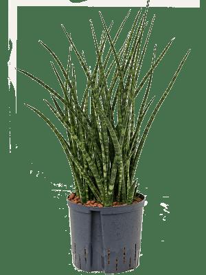 Sansevieria fernwood