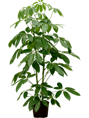 Schefflera actinophylla 'Amate'