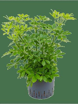 Schefflera arboricola 'Compacta' Bush 25/19 50 - Plant