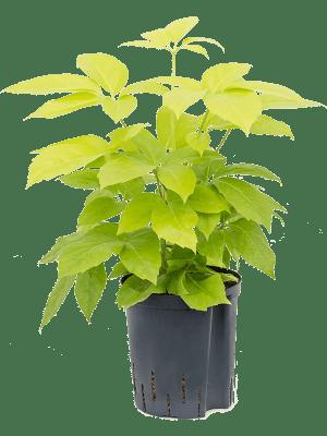 Schefflera golden amate
