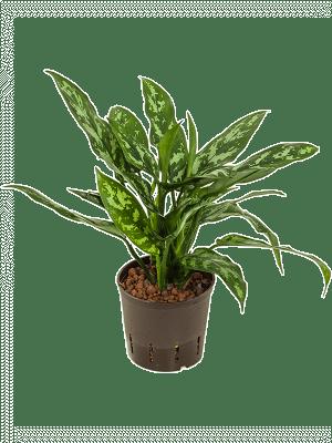 Aglaonema 'Maria' Tuft 13/12 25 - Plant