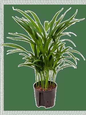 Areca (chrysalido.) lutescens