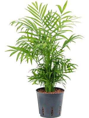 Chamaedorea elegans Toef 13/12 30 - Plant