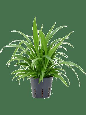 Chlorophytum lemon