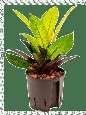 Croton (codiaeum) iceton