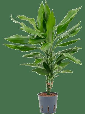 Dracaena burundii