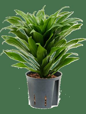 Dracaena fragrans 'Compacta' Kopf 13/12 30 - Pflanze