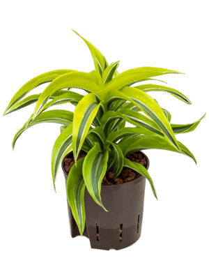 Dracaena fragrans 'Lemon Surprise' Kop 13/12 25 - Plant