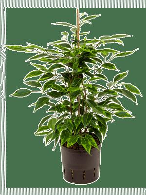 Ficus anastacia