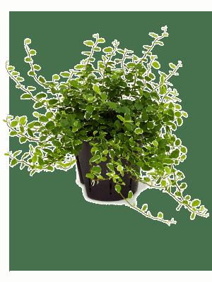 Ficus repens white sunny