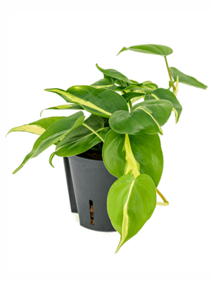 Philodendron scandens 'Grand Brasil' Ranker 13/12 20 - Pflanze