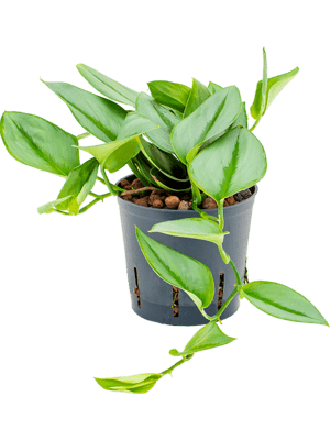 Philodendron metal green