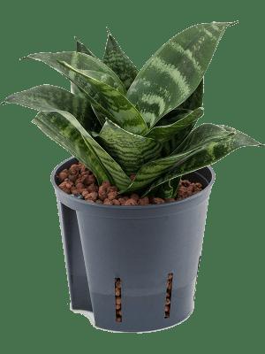 Sansevieria green hahnii