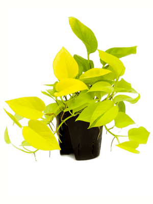 Scindapsus golden pothos