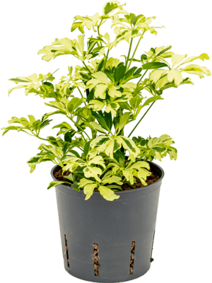 Schefflera janine