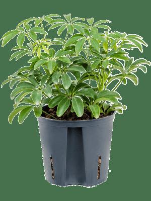 Schefflera louisiana