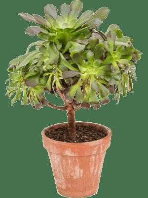Aeonium arboreum apropurpureum