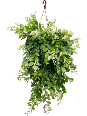 Aeschynanthus lobbianus variegata