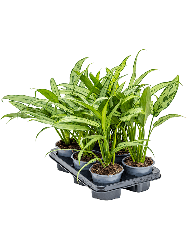 Aglaonema 'Cutlass' 6/tray Toef 12/10 35 - Plant - Main image