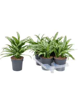 Aglaonema cutlass 4/tray