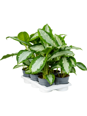 Aglaonema diamond bay 6/tray