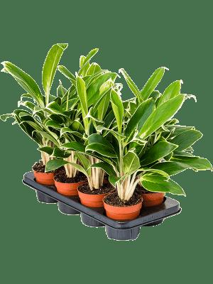 Aglaonema FLN011 6/tray