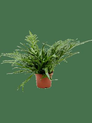 Aglaomorpha 'Jim' Busch 19/17 65 - Pflanze