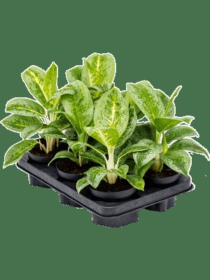 Aglaonema 'Lemon Mint' 6/tray Tuft 12/9 30 - Plant