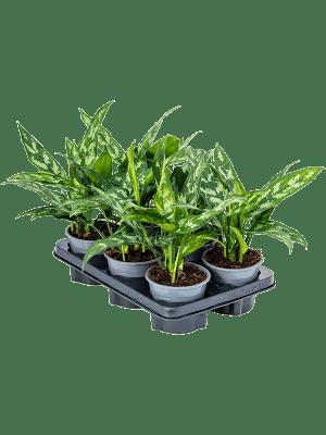 Aglaonema maria 6/tray