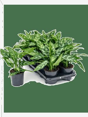 Aglaonema maria 10/tray