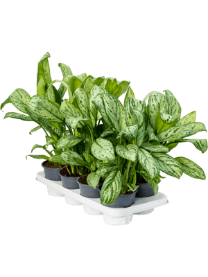Aglaonema christina 8/tray