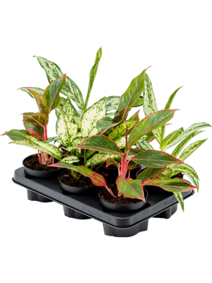 Aglaonema mix 6/tray Touffe 12/9 40 - Plante