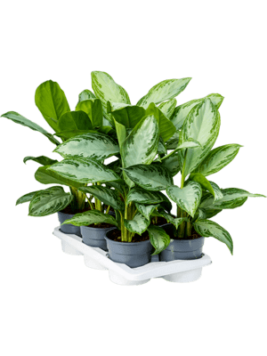 Aglaonema silver bay 6/tray