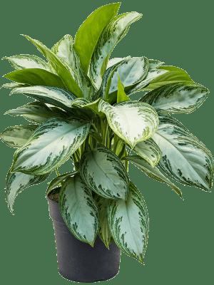 Aglaonema 'Silver bay' Touffe 24/23 65 - Plante