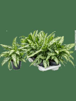 Aglaonema 'Silver queen compact' 6/tray Toef 17/14 35 - Plant