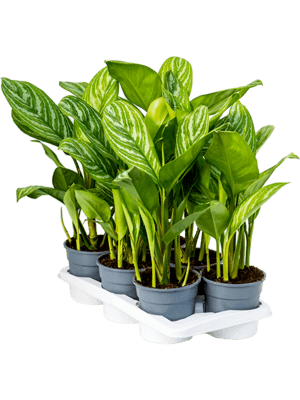 Aglaonema 'Stripes' 6/tray Toef 17/15 60 - Plant